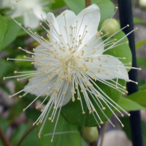 myrtle blossom