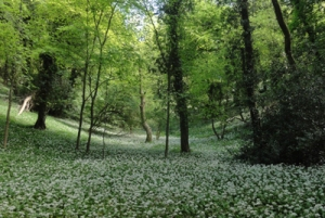 wild garlic bear hill