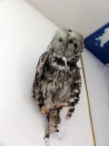 gobi-owl